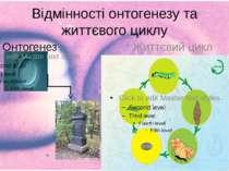 Відмінності онтогенезу та життєвого циклу Онтогенез Життєвий цикл