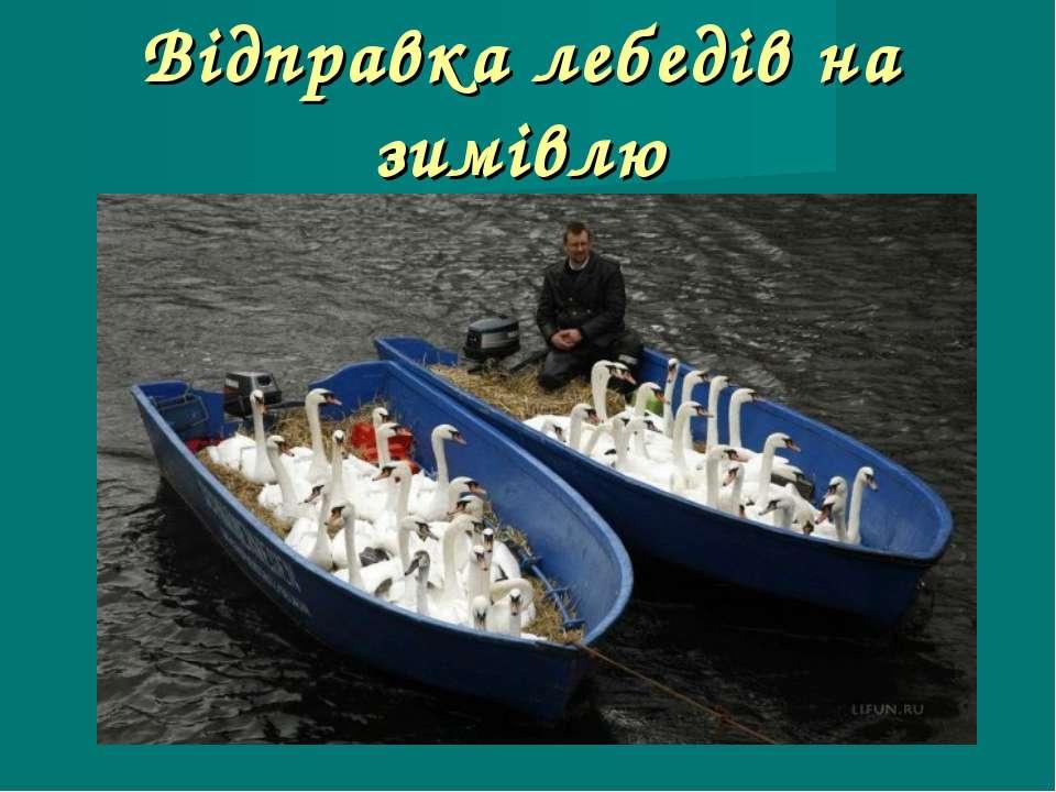 Відправка лебедів на зимівлю