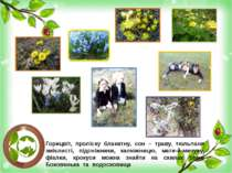 Горицвіт, проліску блакитну, сон – траву, тюльпани змієлисті, підсніжники, ка...