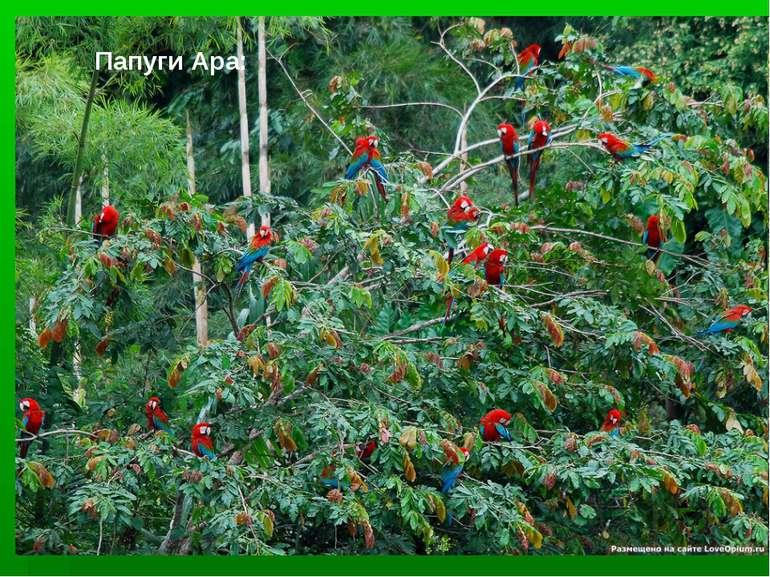 Папуги Ара:
