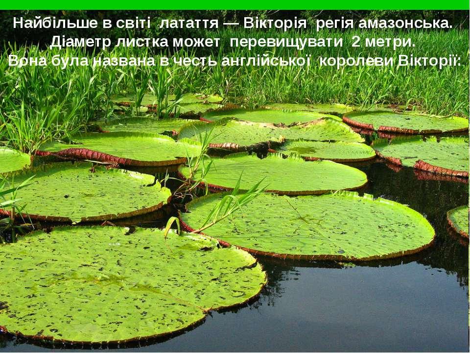 Найбільше в світі латаття — Вікторія регія амазонська. Діаметр листка может п...