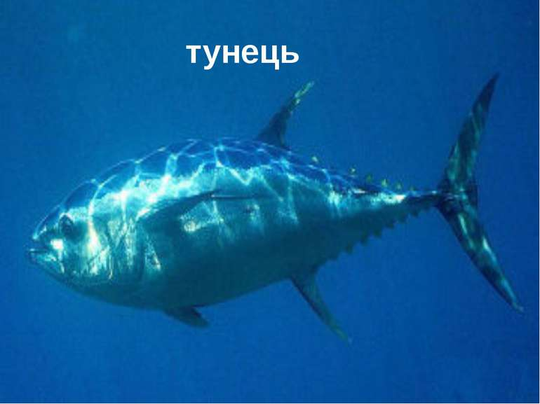 тунець