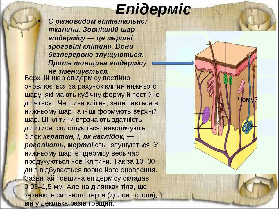 Є різновидом епітеліальної тканини. Зовнішній шар епідермісу — це мертві зрог...