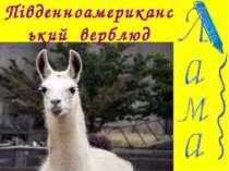 Південноамериканський верблюд