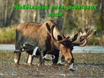 Найбільший олень північних лісів