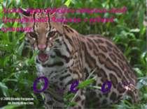 Хижа, дуже рідкісна тварина лісів Центральної Америки з родини кошачих