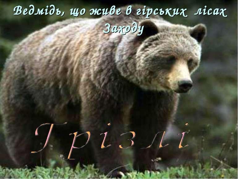 Ведмідь, що живе в гірських лісах Заходу