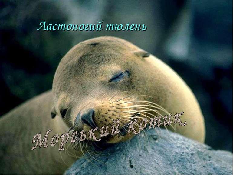 Ластоногий тюлень