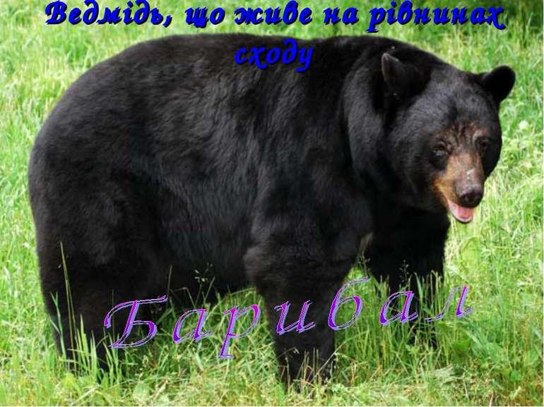 Ведмідь, що живе на рівнинах сходу