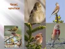 Чижі, чечітки живляться: насінням з беріз та вільх; шишками