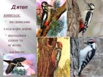 Дятел живиться: шкідниками з-під кори дерев; несоленим салом та м'ясом; насін...