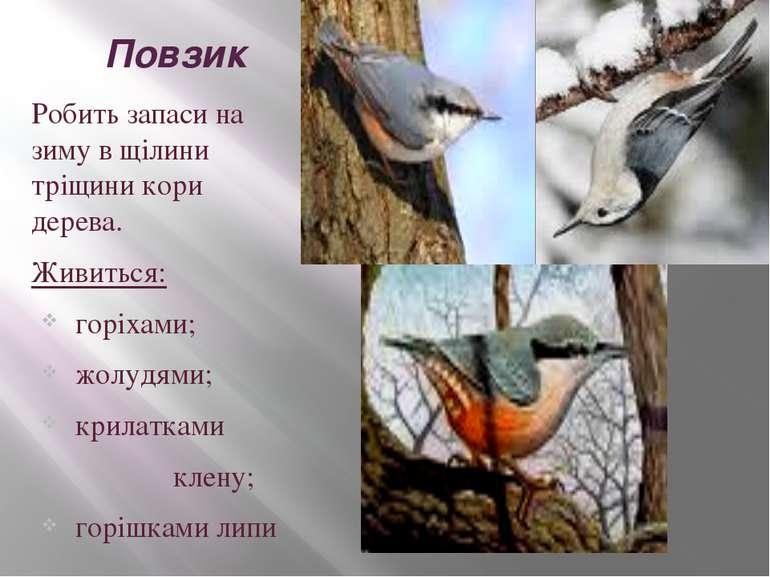 Повзик Робить запаси на зиму в щілини тріщини кори дерева. Живиться: горіхами...