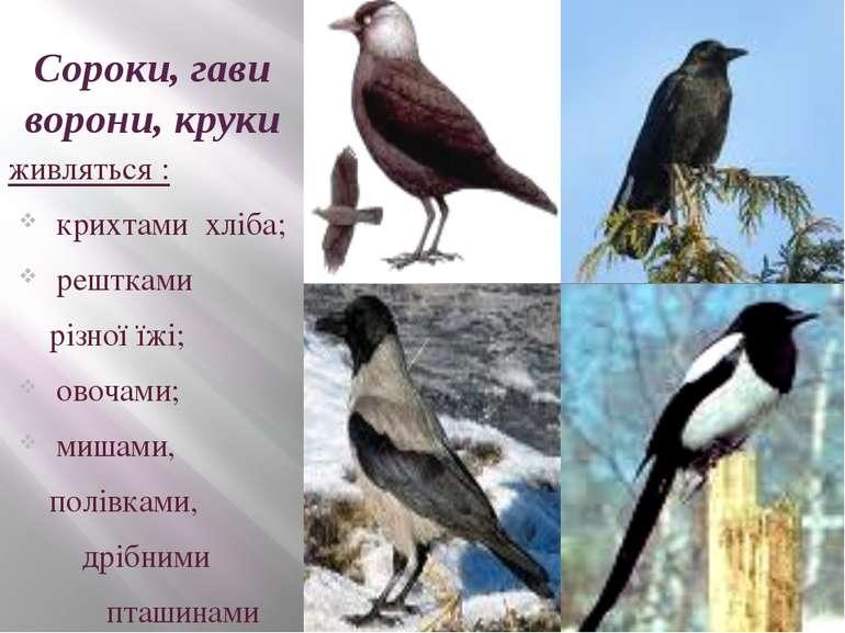 Сороки, гави ворони, круки живляться : крихтами хліба; рештками різної їжі; о...