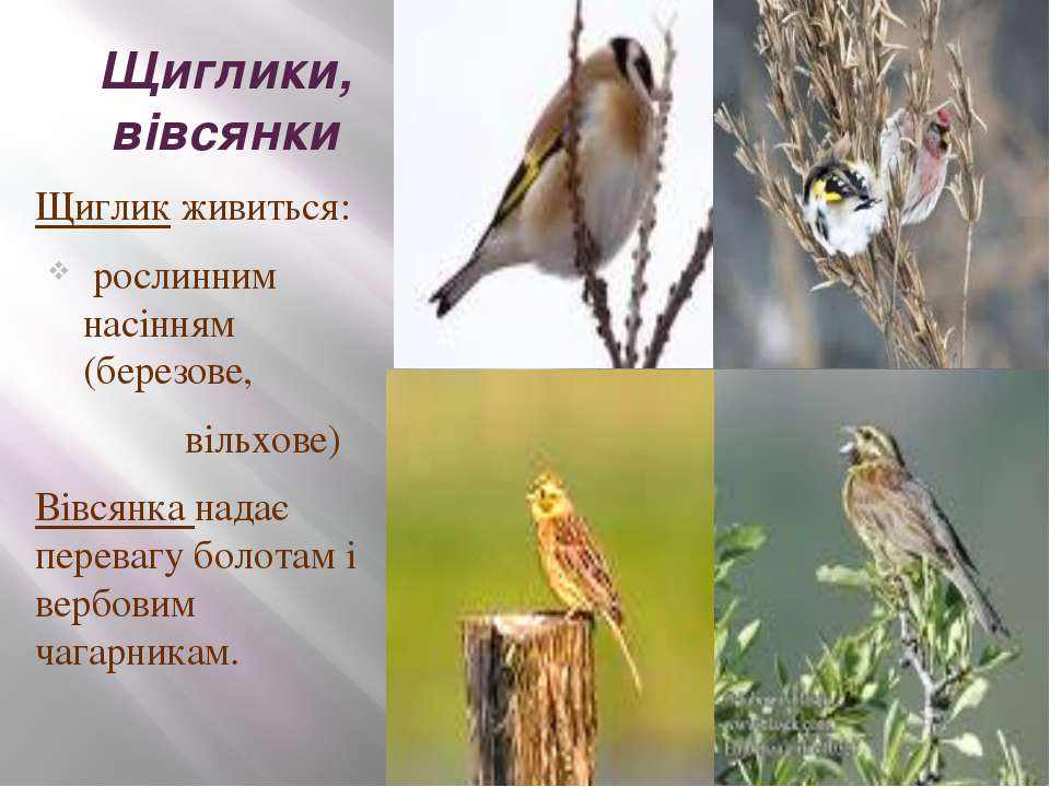 Щиглики, вівсянки Щиглик живиться: рослинним насінням (березове, вільхове) Ві...