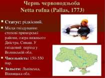 Чернь червoнодзьоба Netta rufna (Pallas, 1773) Статус: рідкісний. Місця гнізд...