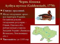 Чернь білоока Aythya nyroca (Guldenstadt, 1770) Статус: вразливий. Місця гніз...