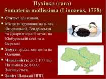 Пухівка (гага) Somateria mollissima (Linnaeus, 1758) Статус: вразливий. Місця...