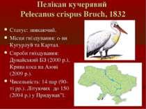 Пелікан кучерявий Pelecanus crispus Bruch, 1832 Статус: зникаючий. Місця гніз...
