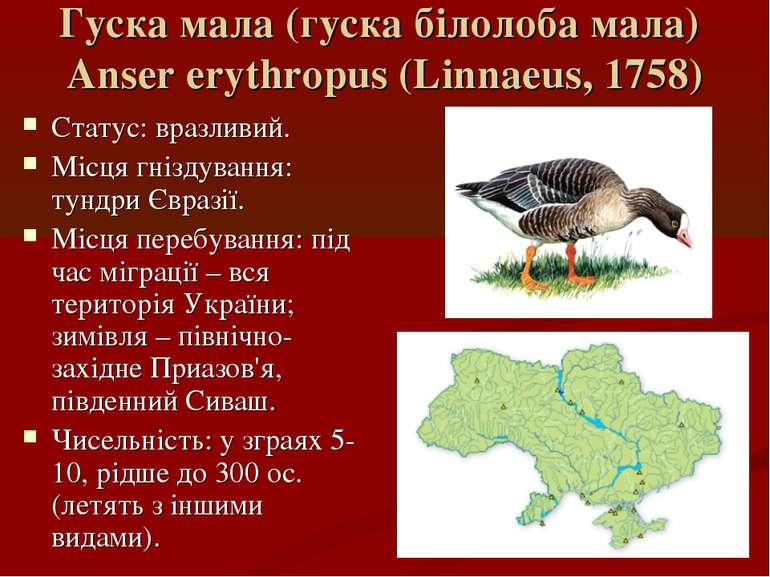 Гуска мала (гуска білолоба мала) Anser erythropus (Linnaeus, 1758) Статус: вр...