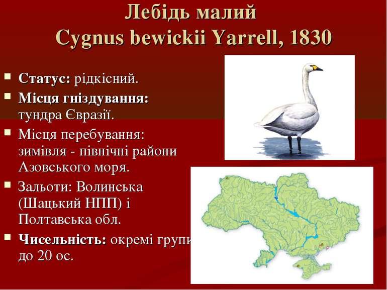 Лебідь малий Cygnus bewickii Yarrell, 1830 Статус: рідкісний. Місця гніздуван...