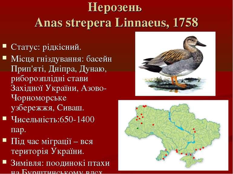 Нерозень Anas strepera Linnaeus, 1758 Статус: рідкісний. Місця гніздування: б...