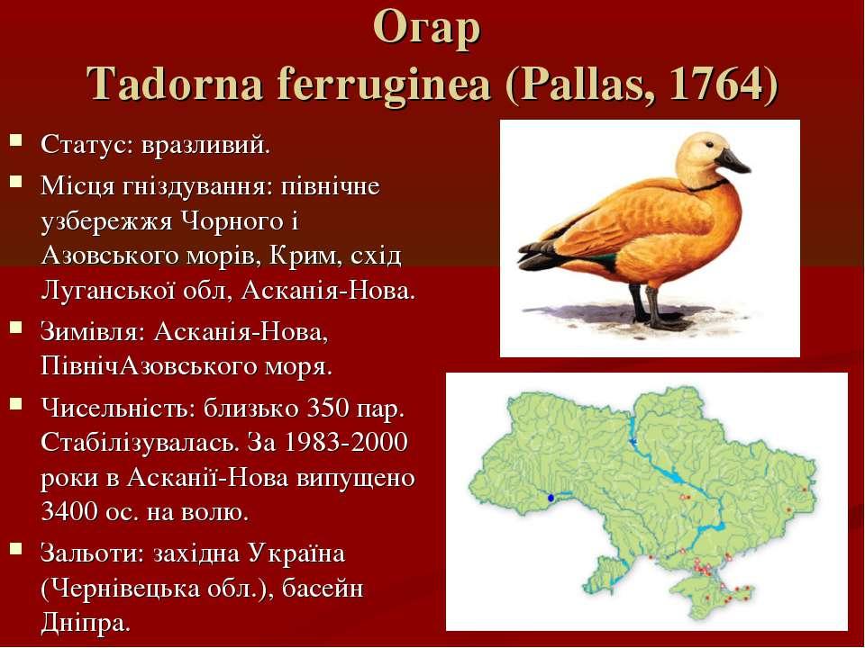 Огар Tadorna ferruginea (Pallas, 1764) Статус: вразливий. Місця гніздування: ...