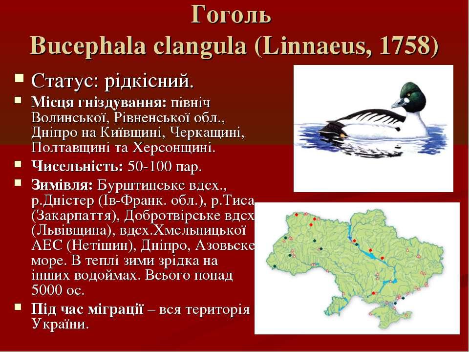Гоголь Bucephala clangula (Linnaeus, 1758) Статус: рідкісний. Місця гніздуван...