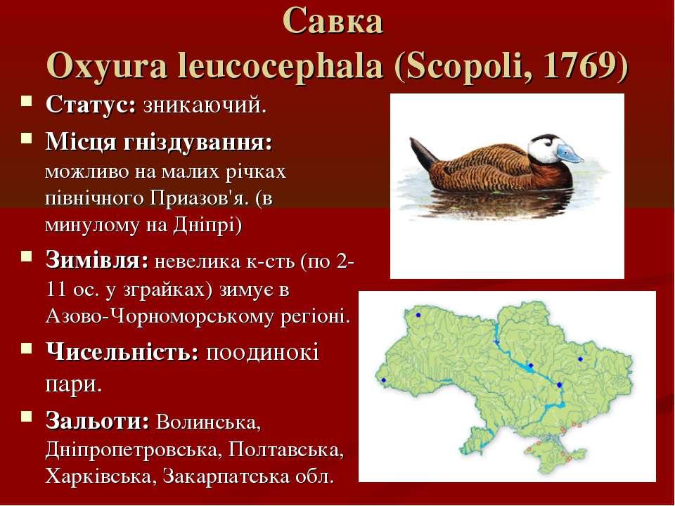Савка Oxyura leucocephala (Scopoli, 1769) Статус: зникаючий. Місця гніздуванн...