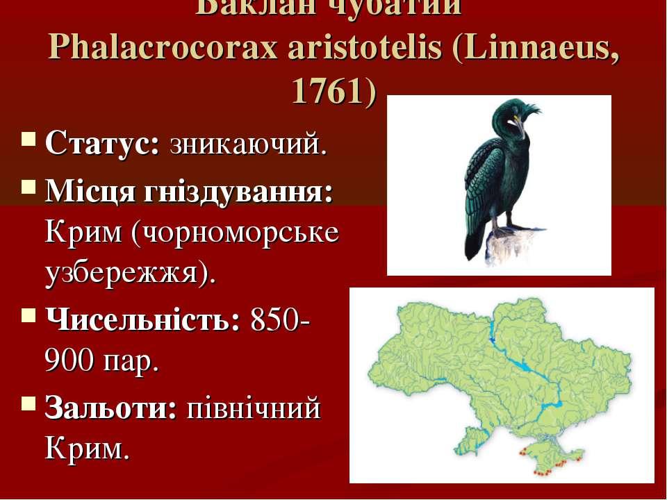 Баклан чубатий Phalacrocorax aristotelis (Linnaeus, 1761) Статус: зникаючий. ...