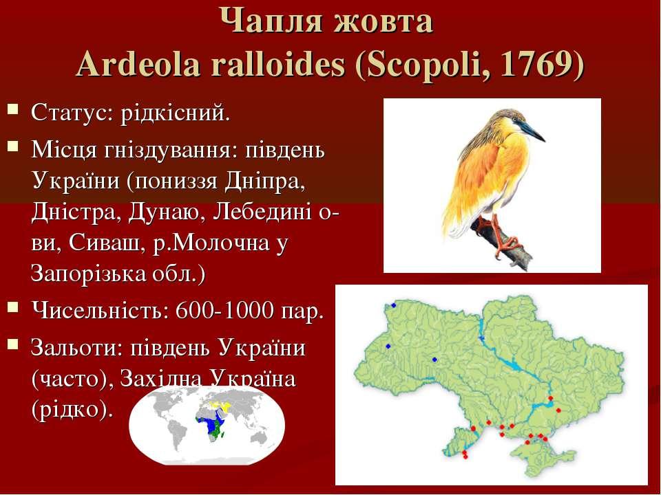 Чапля жовта Ardeola ralloides (Scopoli, 1769) Статус: рідкісний. Місця гнізду...