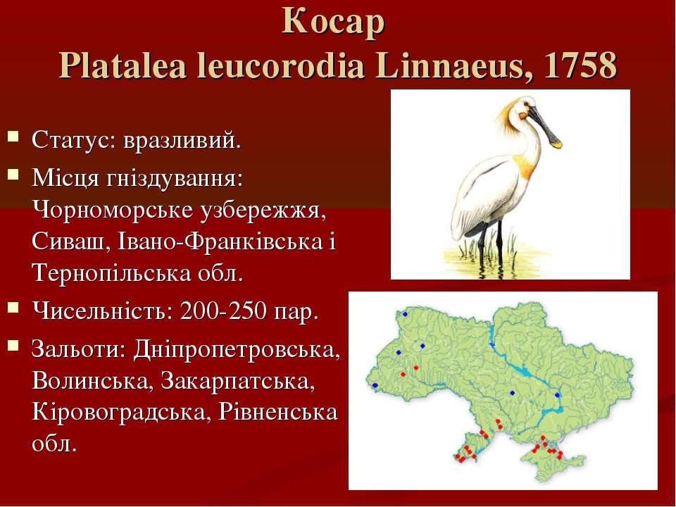 Косар Platalea leucorodia Linnaeus, 1758 Статус: вразливий. Місця гніздування...