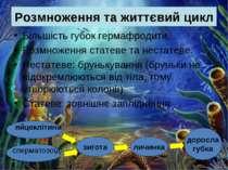 Розмноження та життєвий цикл Більшість губок гермафродити. Розмноження статев...
