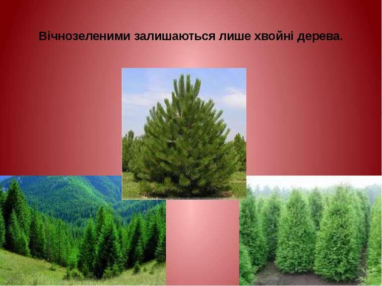 Вічнозеленими залишаються лише хвойні дерева.
