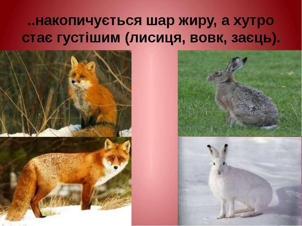 ..накопичується шар жиру, а хутро стає густішим (лисиця, вовк, заєць).