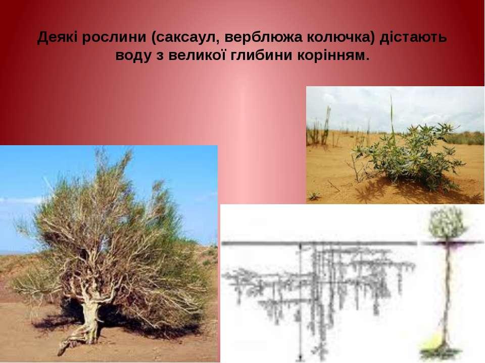 Деякі рослини (саксаул, верблюжа колючка) дістають воду з великої глибини кор...