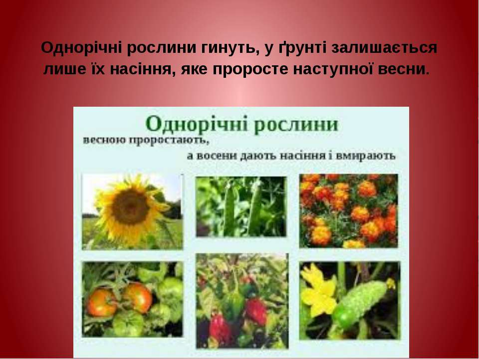Однорічні рослини гинуть, у ґрунті залишається лише їх насіння, яке проросте ...