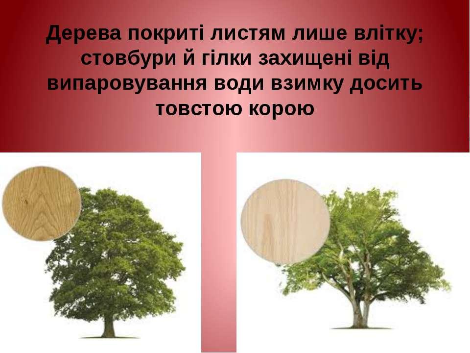Дерева покриті листям лише влітку; стовбури й гілки захищені від випаровуванн...