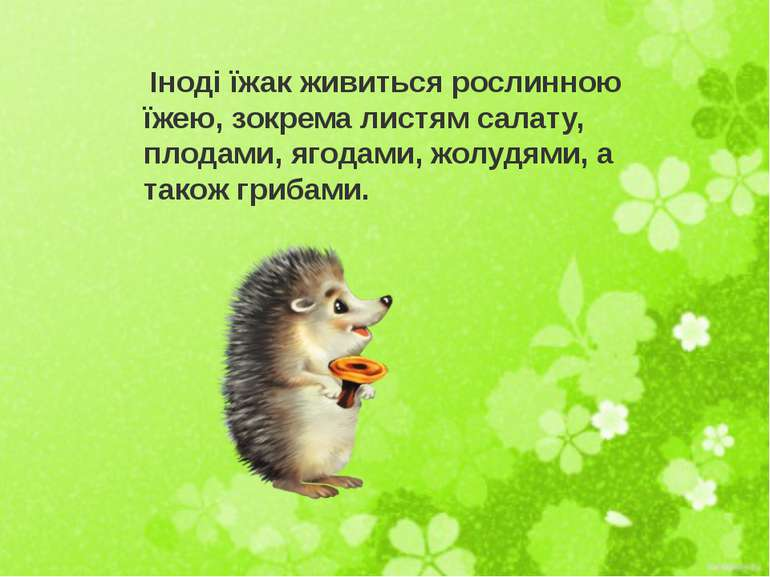 Іноді їжак живиться рослинною їжею, зокрема листям салату, плодами, ягодами, ...