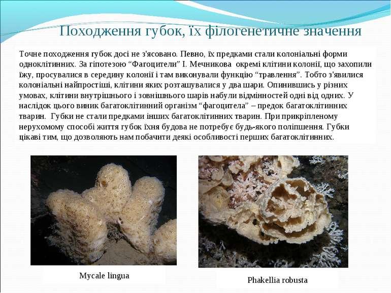 Походження губок, їх філогенетичне значення Точне походження губок досі не з'...