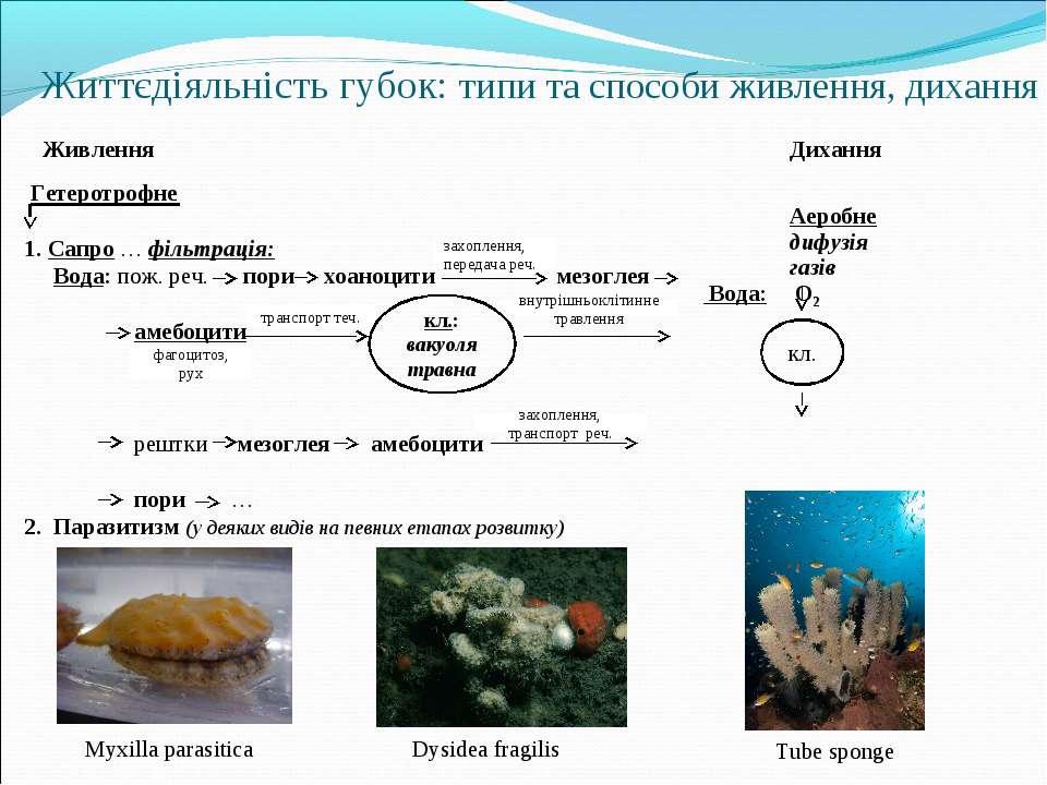 Гетеротрофне 1. Сапро … фільтрація: Вода: пож. реч. пори хоаноцити мезоглея а...