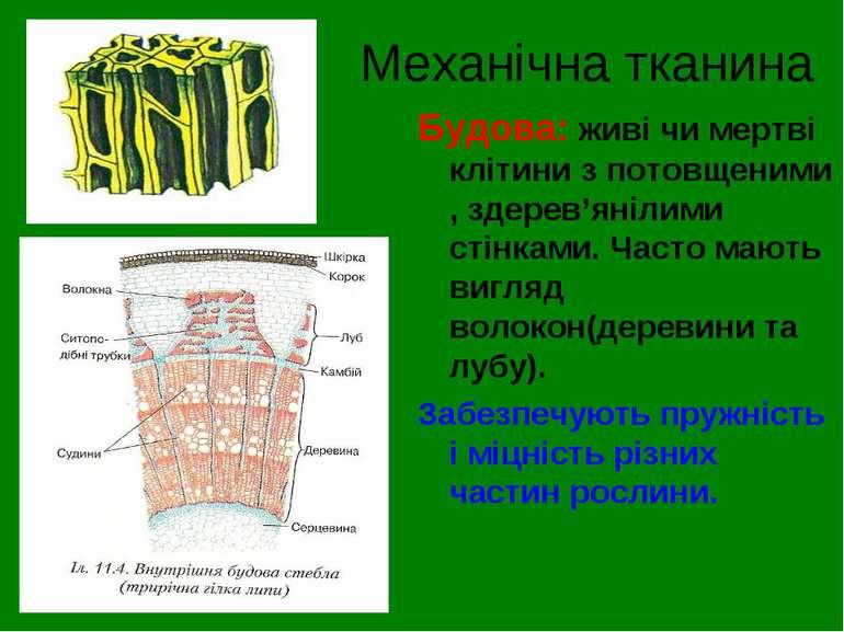 Механічна тканина Будова: живі чи мертві клітини з потовщеними , здерев'яніли...