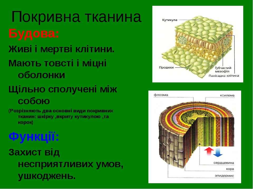Покривна тканина Будова: Живі і мертві клітини. Мають товсті і міцні оболонки...