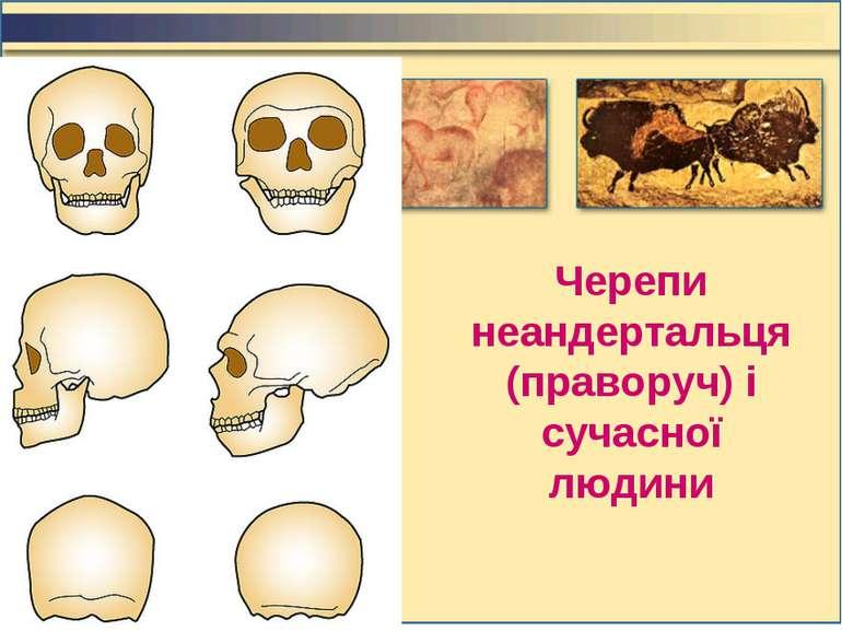 Черепи неандертальця (праворуч) і сучасної людини