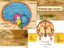 Факти про мозок