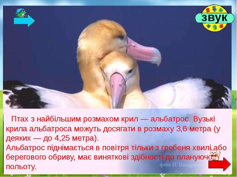 Птах з найбільшим розмахом крил — альбатрос. Вузькі крила альбатроса можуть д...