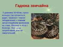 Гадюка звичайна Її довжина 50-60см, сірого кольору (зустрічаються рудої, черв...