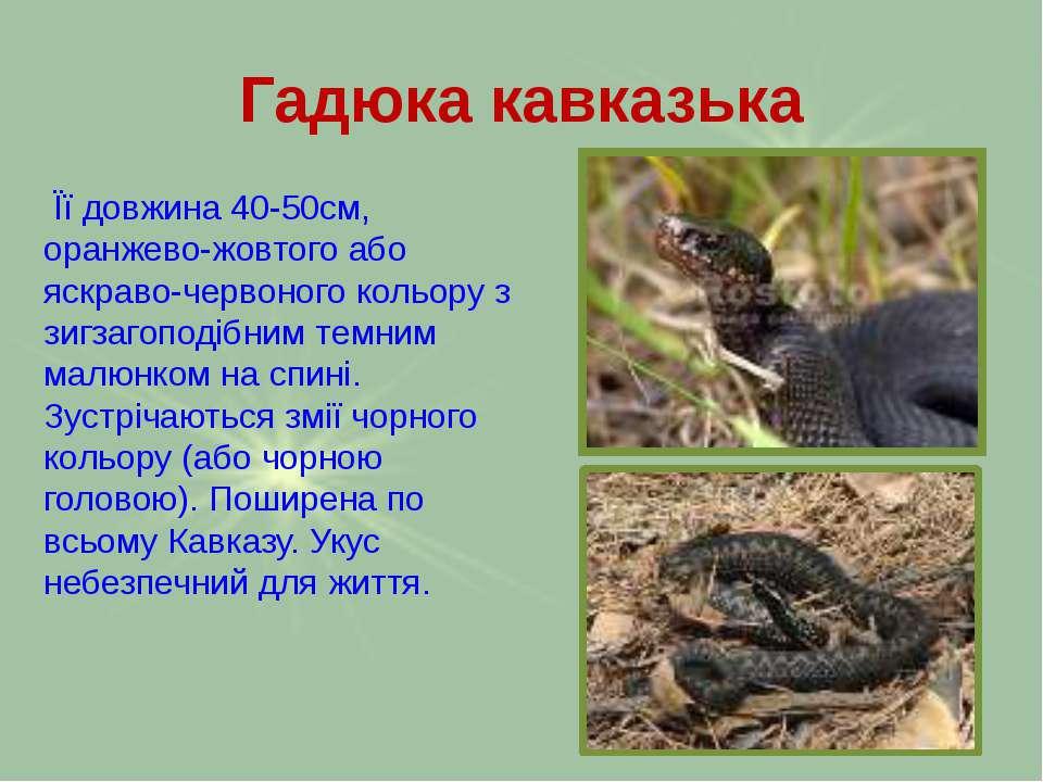 Гадюка кавказька Її довжина 40-50см, оранжево-жовтого або яскраво-червоного к...