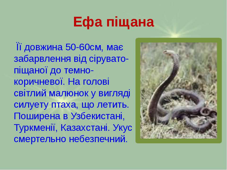 Ефа піщана Її довжина 50-60см, має забарвлення від сірувато-піщаної до темно-...