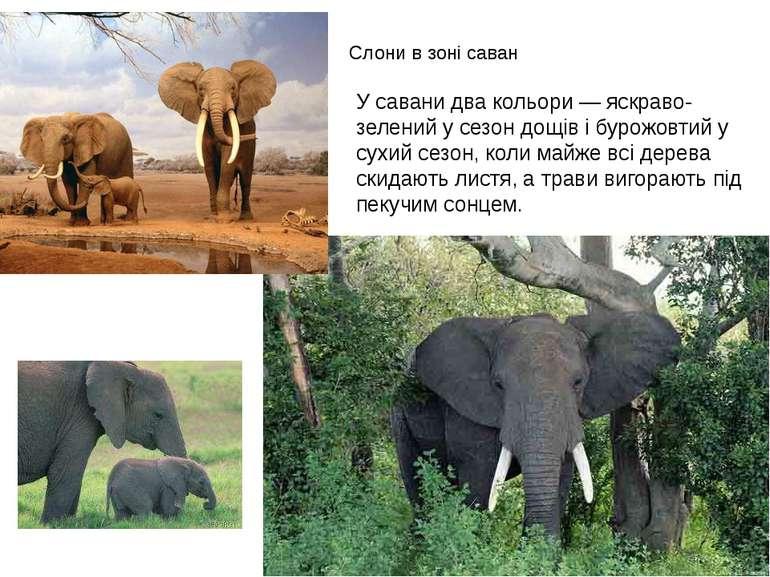 Слони в зоні саван У савани два кольори — яскраво-зелений у сезон дощів і бур...