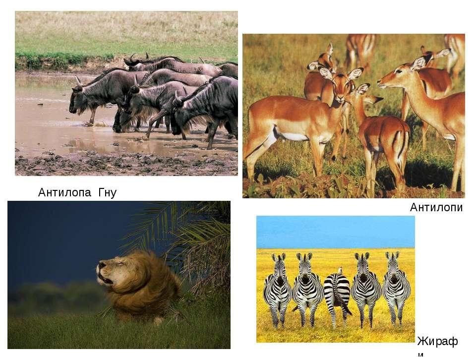Антилопи Жирафи Антилопа Гну